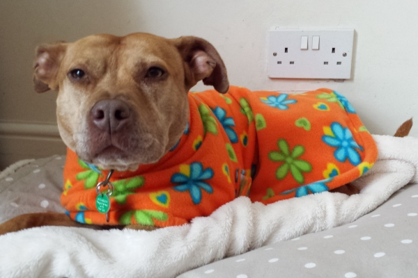 CJ the Staffie in her bespoke Orange Floral Milgi Fleece Coat