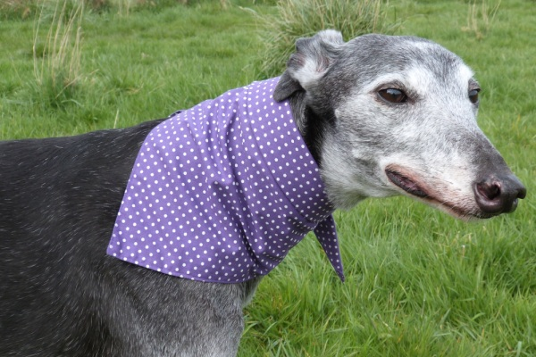 purple spot bandana for greyhound lurchers and whippets from Milgi Coats