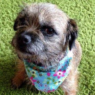 holly wearing her bespoke border terrier bandana from milgi coats