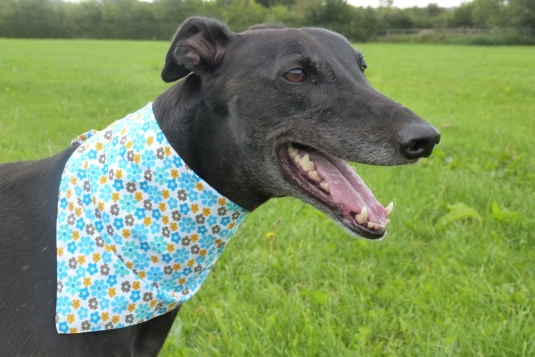 blue flowers greyhound bandana