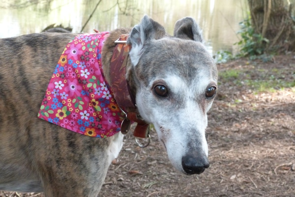 greyhound bandana in cerise floral cotton poplin