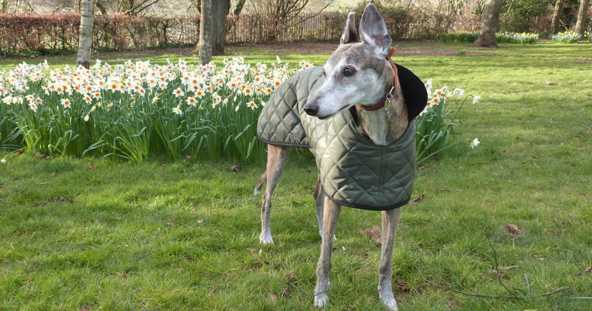 quilted greyhound coats