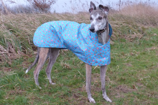 Turquoise Rose Raincoat for Greyhounds Lurchers and Whippets