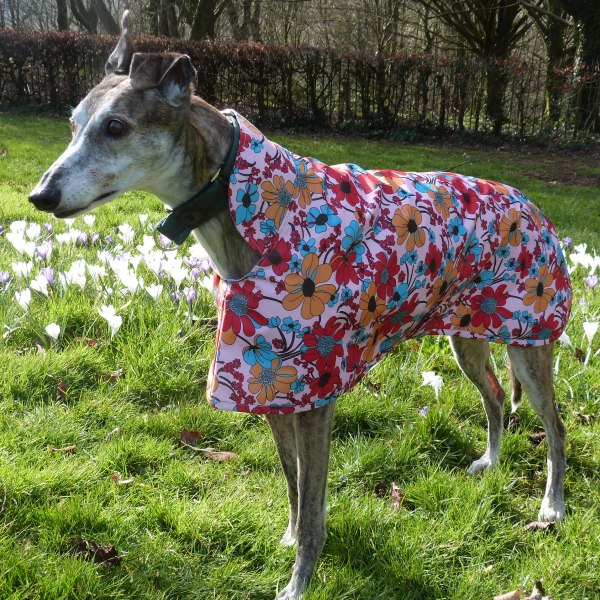 Sara in her raincoat for greyhounds lurchers and whippets enjoying the spring sunshine