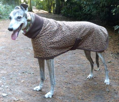 brindle greyhound in leopard greyhound coat