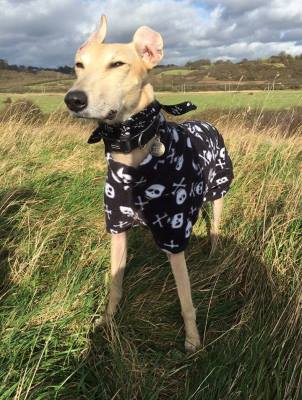 fawn greyhound in black and white greyhound coat