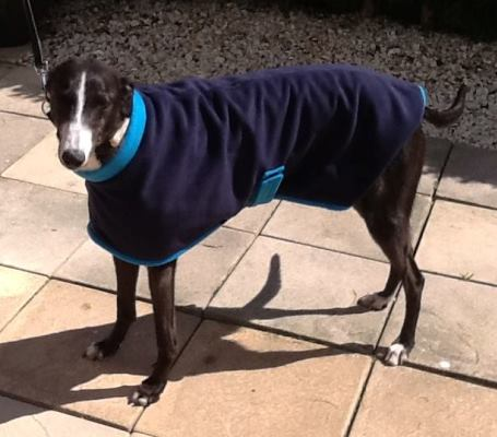 greyhound coat in blue for black and white greyhounds