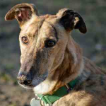 Greyhound Rescue Wales - Raymond