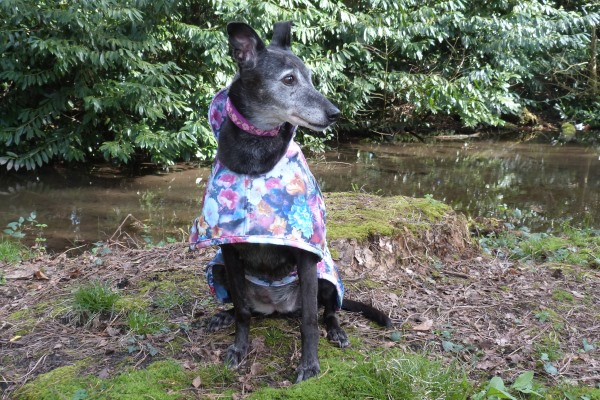 lurcher modelling moonlight garden waterproof scuba coat for greyhounds lurchers and whippets