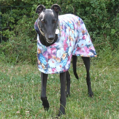 moonlight garden scuba coat for greyhounds modelled by jack