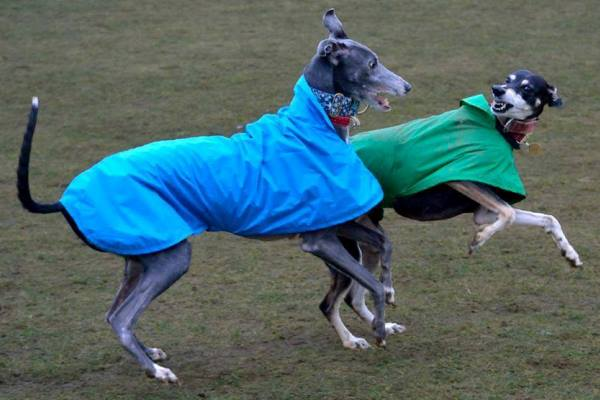 greyhound waterproof coat uk made